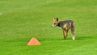 Lis na boisku podczas treningu piłkarskiej reprezentacji Polski we Wrocławiu