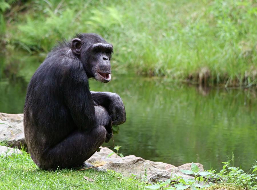 Jak szympans robi swoją wędkę?