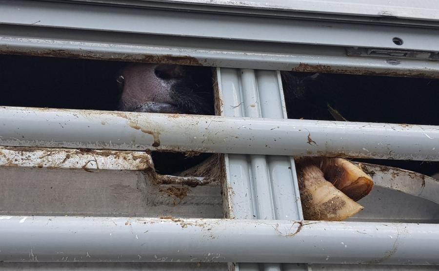 Jedno ze zwierząt miało uwiezioną kończynę pomiędzy pokładem a ścianą boczną