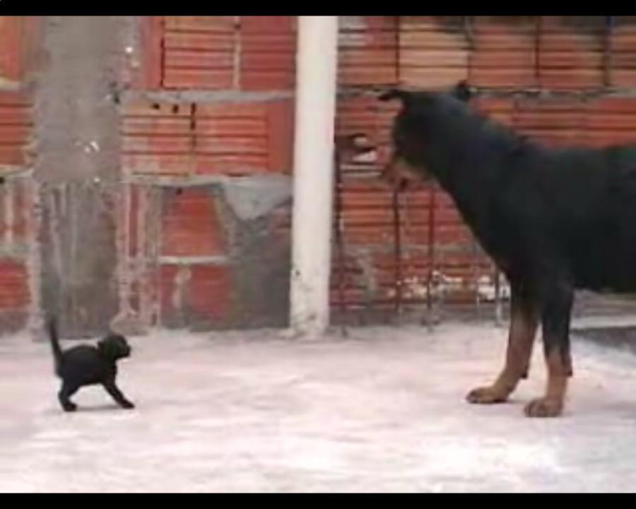 Mały kotek nie boi się rottweilera