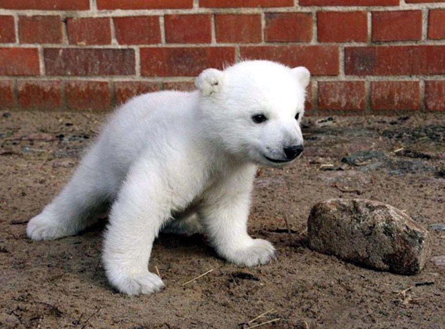Maleńki Knut sfotografowany 11 lutego 2007 roku
