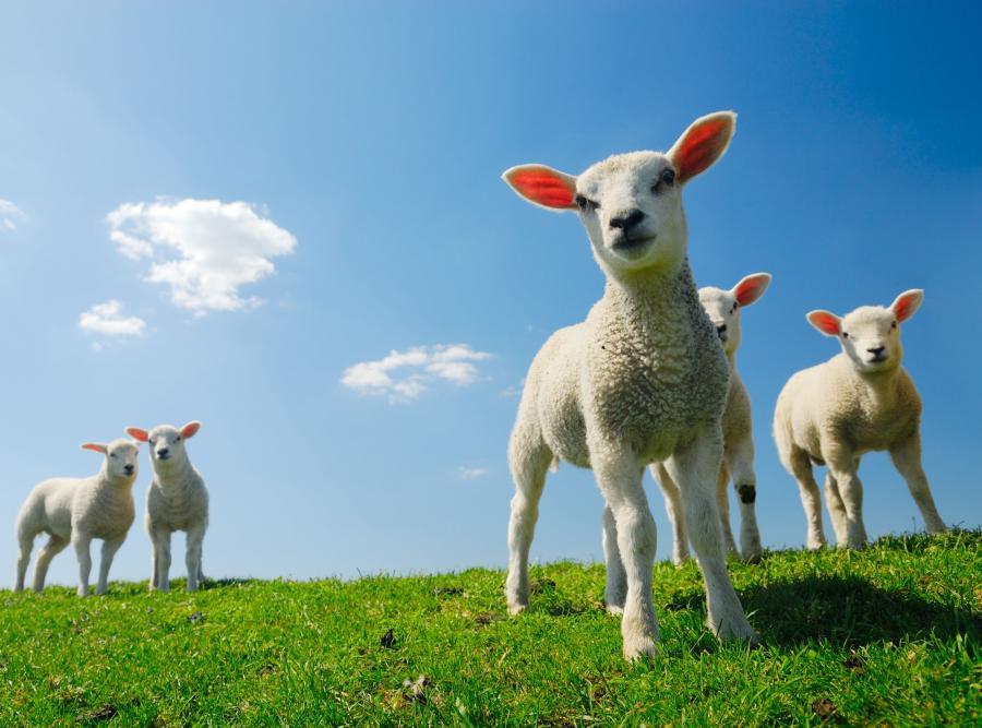 Owieczki w górach
