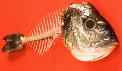 Rybi szkielet