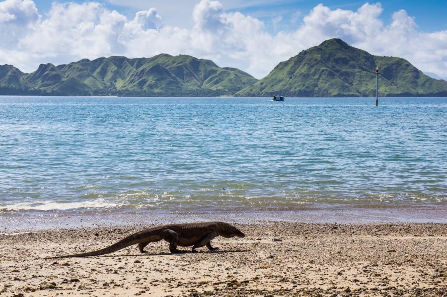 Waran na plaży na wyspie Komodo, Indonezja