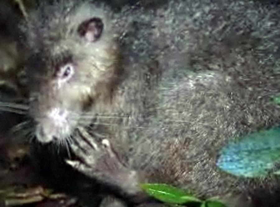 Zobacz największego szczura na świecie